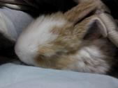 寵物-兔子:兔子-006-Q.JPG