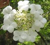 6楓之琳園藝小苗種子圖檔很多稀有植物:images (4).jpg