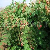 13楓之琳園藝小苗種子圖檔很多稀有植物:T1Muo8XbBiXXXXXXXX_!!0-item_pic.jpg_310x310.jpg