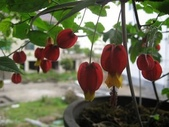 8楓之琳園藝小苗種子圖檔很多稀有植物:T1CPt6Xs4aXXXXXXXX_!!0-item_pic.jpg_310x310.jpg