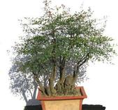 9楓之琳園藝小苗種子圖檔很多稀有植物:T10_rTXjVhXXcHdHs5_055051.jpg_310x310.jpg