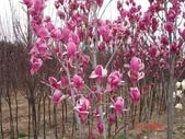 10楓之琳園藝小苗種子圖檔很多稀有植物:紫玉兰.jpg