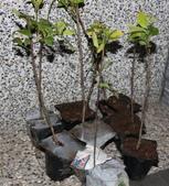 14楓之琳園藝小苗種子圖檔很多稀有植物:tn.jpg