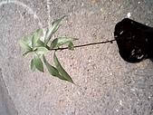 6楓之琳園藝小苗種子圖檔很多稀有植物:IMG_20131004_112702.jpg