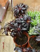 6楓之琳園藝小苗種子圖檔很多稀有植物:180706935065807031.jpg