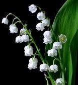 6楓之琳園藝小苗種子圖檔很多稀有植物:Muguet2_zps90e3853d.jpg