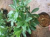 6楓之琳園藝小苗種子圖檔很多稀有植物:33.jpg