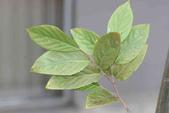 6楓之琳園藝小苗種子圖檔很多稀有植物:天料木-葉4.JPG