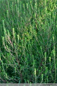 6楓之琳園藝小苗種子圖檔很多稀有植物:3368692521273962543.jpg
