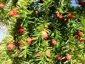 6楓之琳園藝小苗種子圖檔很多稀有植物:W020100524369755647489.jpg