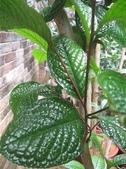 8楓之琳園藝小苗種子圖檔很多稀有植物:T2PEKSXjpaXXXXXXXX_!!49777641.jpg_310x310.jpg