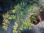 11楓之琳園藝小苗種子圖檔很多稀有植物:20130527_161319