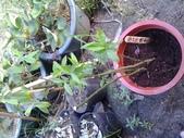 14楓之琳園藝小苗種子圖檔很多稀有植物:20130527_161830