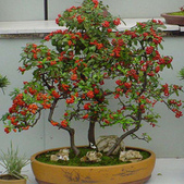 10楓之琳園藝小苗種子圖檔很多稀有植物:T1R6CIXateXXX54OQU_015229.jpg_310x310.jpg