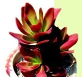 6楓之琳園藝小苗種子圖檔很多稀有植物:317430-6.jpg