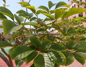4楓之琳園藝小苗種子圖檔很多稀有植物:06.黃花風鈴木.png