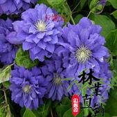 6楓之琳園藝小苗種子圖檔很多稀有植物:T2wCa2XgxXXXXXXXXX_!!83427479.jpg