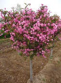 12楓之琳園藝小苗種子圖檔很多稀有植物:T2lEPsXgRaXXXXXXXX_!!1056074050.jpg_310x310.jpg