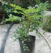 13楓之琳園藝小苗種子圖檔很多稀有植物:T1ib2EXj0dXXcUfr.5_055139.jpg_310x310.jpg