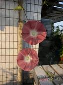 6楓之琳園藝小苗種子圖檔很多稀有植物:T2PSowXc8XXXXXXXXX_!!48630100.jpg