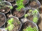 8楓之琳園藝小苗種子圖檔很多稀有植物:IMG_5472