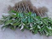 10楓之琳園藝小苗種子圖檔很多稀有植物:71134201322604656 (1).jpg