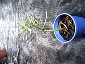 6楓之琳園藝小苗種子圖檔很多稀有植物:IMG_20131004_113542.jpg