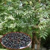 14楓之琳園藝小苗種子圖檔很多稀有植物:T1MU8bXsRaXXXXXXXX_!!0-item_pic.jpg_310x310.jpg