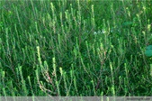 6楓之琳園藝小苗種子圖檔很多稀有植物:3862962580377322890.jpg