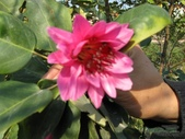 14楓之琳園藝小苗種子圖檔很多稀有植物:155005_129402686973.jpg