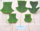 5楓之琳園藝小苗種子圖檔很多稀有植物:u1jL0y9DQ7lSNjjwjKJDuw.jpg