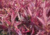 12楓之琳園藝小苗種子圖檔很多稀有植物:b201104301127096389.JPG