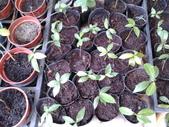 3楓之琳園藝小苗種子圖檔很多稀有植物:SU8VBUs9dyiVvch9iP3x5w.jpg
