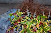3楓之琳園藝小苗種子圖檔很多稀有植物:4L7MbORRlAqysNRFPAdt0Q.jpg