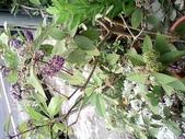 15楓之琳園藝小苗種子圖檔很多稀有植物:IMG_20130728_162441.jpg