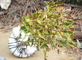 3楓之琳園藝小苗種子圖檔很多稀有植物:9YyYHwO0hQ9V4aLxmS_S6A.jpg