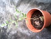 6楓之琳園藝小苗種子圖檔很多稀有植物:IMG_20131004_113814.jpg