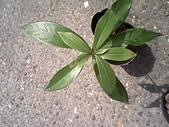 6楓之琳園藝小苗種子圖檔很多稀有植物:510466735_o.jpg