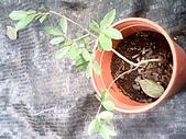 6楓之琳園藝小苗種子圖檔很多稀有植物:IMG_20131004_113445.jpg