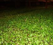 11楓之琳園藝小苗種子圖檔很多稀有植物:201201141326474216140.jpg