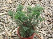 6楓之琳園藝小苗種子圖檔很多稀有植物:1332741061-696416218_n.jpg