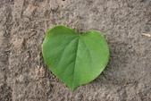 14楓之琳園藝小苗種子圖檔很多稀有植物:紫荊-葉正.JPG