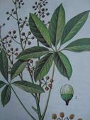 6楓之琳園藝小苗種子圖檔很多稀有植物:16300000224159124642027813443.jpg