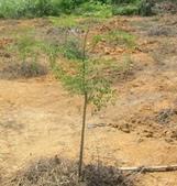 6楓之琳園藝小苗種子圖檔很多稀有植物:T2LCIKXgtXXXXXXXXX_!!76679807.jpg