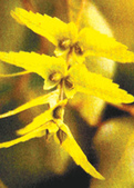 6楓之琳園藝小苗種子圖檔很多稀有植物:01300000166746121282997714513.jpg