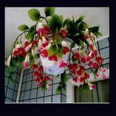 8楓之琳園藝小苗種子圖檔很多稀有植物:T12gUHXmddXXXXXXXX_!!0-item_pic.jpg_310x310.jpg