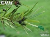 6楓之琳園藝小苗種子圖檔很多稀有植物:01300000201102122157239017044.jpg