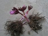 15楓之琳園藝小苗種子圖檔很多稀有植物:T2vma6XfBbXXXXXXXX_!!268311183.jpg