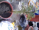 11楓之琳園藝小苗種子圖檔很多稀有植物:20130517_125915