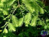 6楓之琳園藝小苗種子圖檔很多稀有植物:20081105032840167.jpg